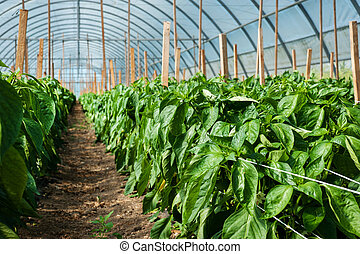 yellow pepper rows , growing vegetables in big greenhouse
