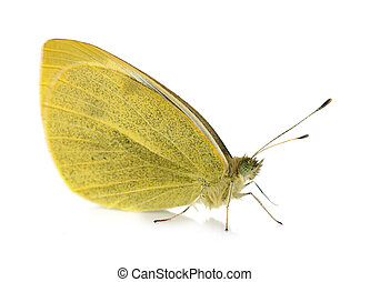 yellow Pieridae butterfly in front of white background