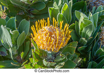 Yellow pincushion protea flower