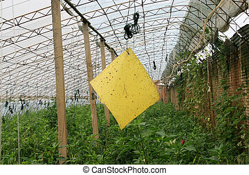 yellow plate for traps insects in vegetables greenhouses, north china