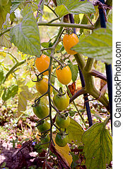 Yellow plum tomatoes ripening on the vine