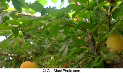 Yellow plums on tree branch. Fruits and leaves. Garden in...