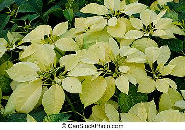 Yellow poinsettia flower