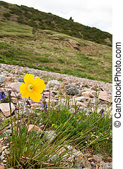 Yellow poppies. a herbaceous plant with showy flowers, milky sap, and rounded seed capsules. Many poppies contain alkaloids and are a source of drugs such as morphine and codeine.