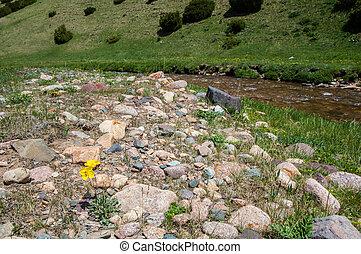 Yellow poppies. mountain, mount, hill. Kazakhstan. Tien Shan. Assy plateau