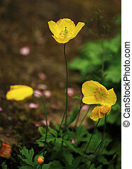 wild yellow poppies in an English country garden
