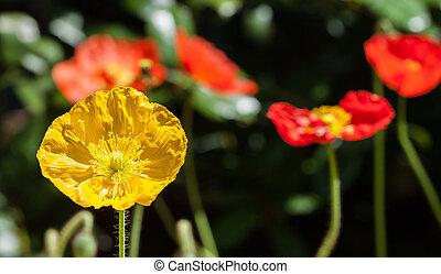 Yellow garden poppies in spring