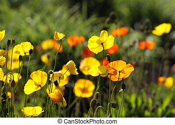 Yellow Poppy flowers