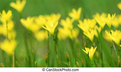 Yellow poppy flowers moving in breeze, slow motion footage