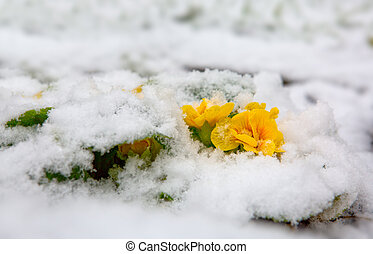 Yellow primrose flower growing from the snow. - Blooming ...