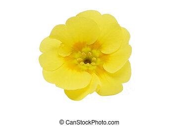 yellow primrose flower isolated on white