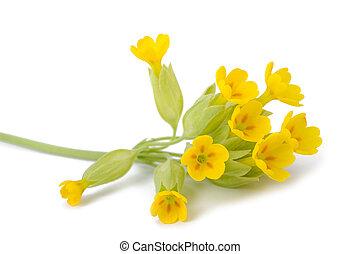 Yellow Primrose flowers - Primrose flowers isolated on white...