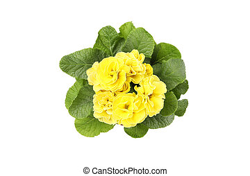 Yellow primrose in flower pot isolated on white background