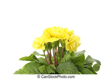 Yellow primrose isolated on white background, close up