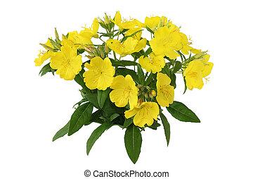 Yellow Primrose - Yellow primrose oenothera frutcosa flower ...