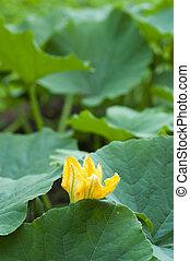 Yellow pumpkin flower among green leaves
