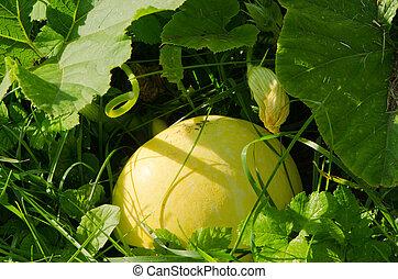 Huge ripe pumpkin in morning autumn garden dew. Ecologic natural organic healthy food.