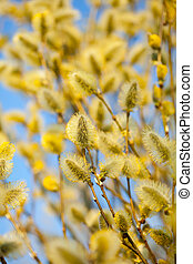 yellow pussy willow branches in spring nature