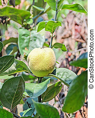 Yellow Quince fruit in the tree, Cydonia oblonga, family ...