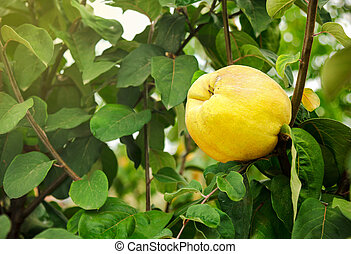 Yellow quince on the tree