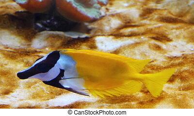 yellow rabbitfish - tropical fish underwater
