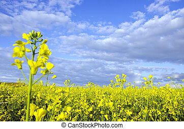 Yellow rape field and dense cloudy sky background
