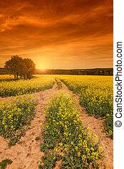 Yellow rape field at the sunset