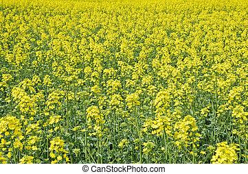 rape - yellow rape field close up