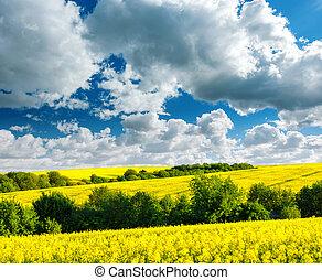 Yellow rape field on blue sky background