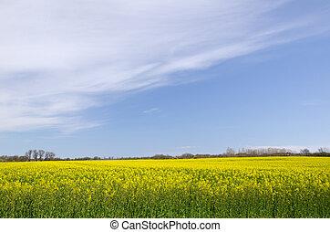 Yellow rape-field