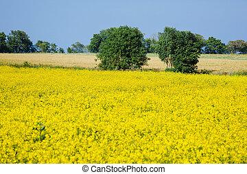 yellow rape flowers field