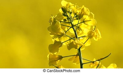 yellow rape in springtime