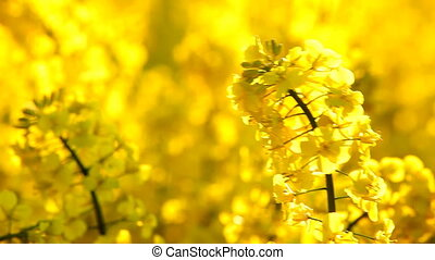 Yellow rapeseed, close up