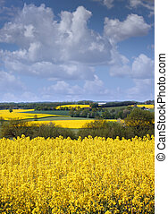 Yellow rapeseed field against a blue sky in the spring