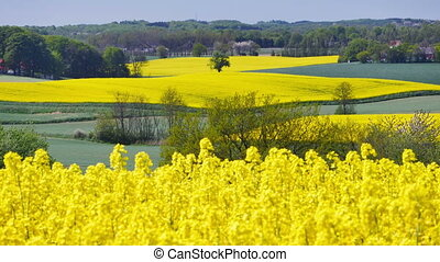 Yellow rapeseed field against a blue sky in the spring in...