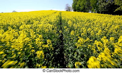 Yellow rapeseed field in the spring