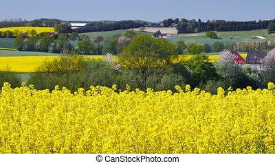 Yellow rapeseed field in Sweden