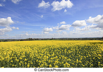 Yellow Rapeseed Fields