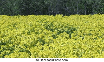 Yellow rapeseed flowers Brassica napus on field.