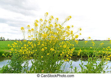 Yellow rapeseed in landscape