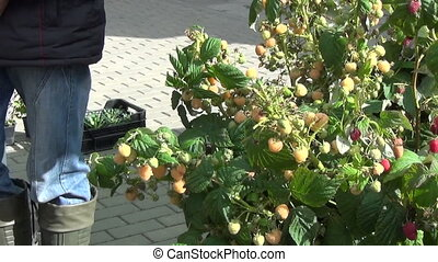 yellow raspberry market - decorative early yellow raspberry...