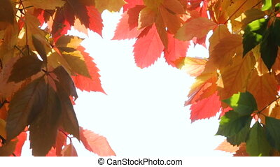 Yellow, red and green autumn foliage as background