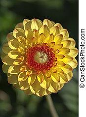 Yellow-red dahlia - blossom