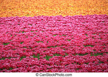 yellow-red field of tulips