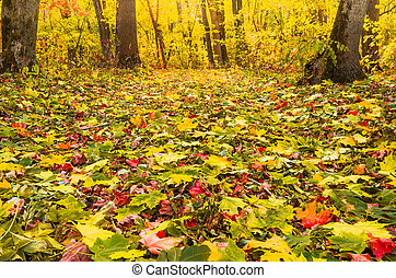 Yellow red leaves in the autumn forest