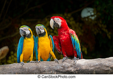 yellow-red, macaw