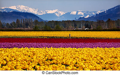 Yellow Red Purple Tulips Flowers Daffodils Snow Mountains Skagit Valley Farm Washington State Pacific Northwest