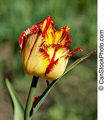 Yellow - Red Tulip