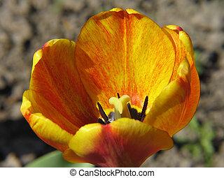 Yellow-Red Tulip