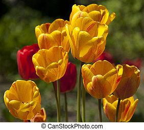 yellow-red, tulipes, gros plan, -, jardin